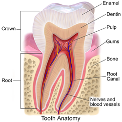 Tooth Anatomy shows parts of the tooth